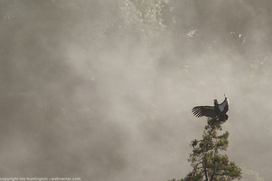 "California condor #204 ""Amigo"" warms his wings in the sunshine as the mist starts to clear out of the trees in Big Sur, CA."