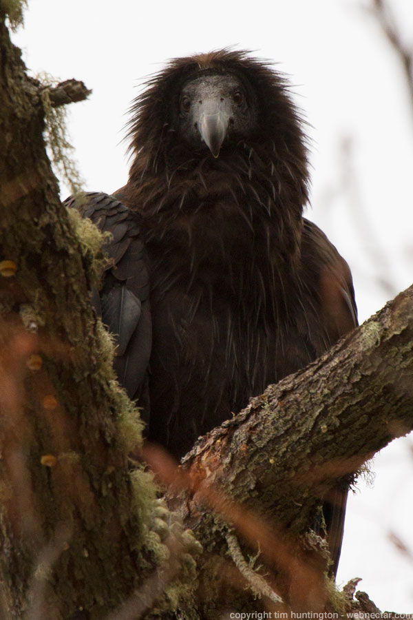 "Juvenile California condor #665 ""Redwood Son"" looks down from his perch in a fir tree in an overcast Big Sur."