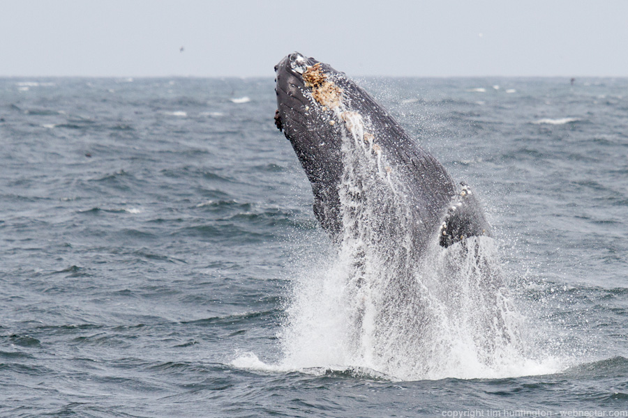 A juvenile humpback whale breaches in Monterey Bay.